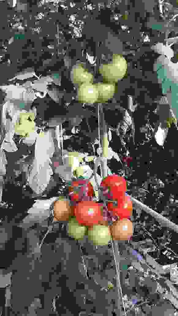 tomates-grappe-bouguenais