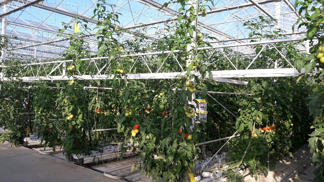 serre tomates Bouguenais